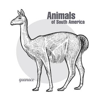 Animaux d'amérique du sud guanaco.