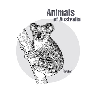 Animaux d'australie. koala.