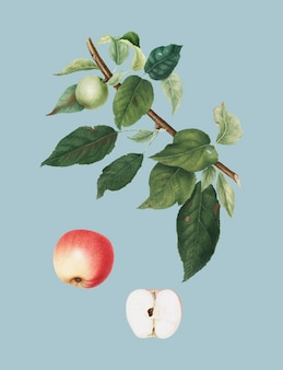 Apple de pomona italiana illustration
