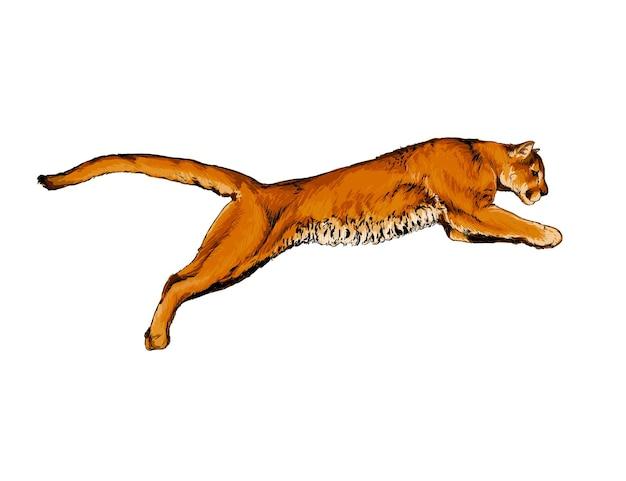 Aquarelle puma, cougar sur blanc