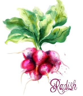 Aquarelle de radis isolé