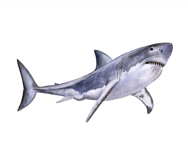 Aquarelle requin blanc. aquarelle