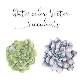 Aquarelle vecteur succulente