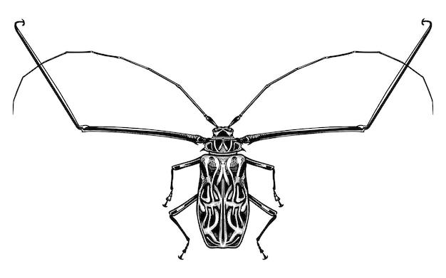 Arlequin insecte coléoptère isolé. croquis noir et blanc.
