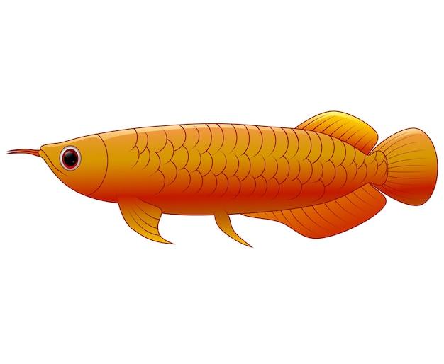 Arowana poisson sur fond blanc