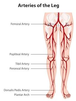 Artères et veines de la jambe