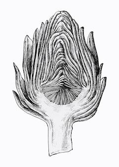 Artichaut demi-coupé dessiné à la main