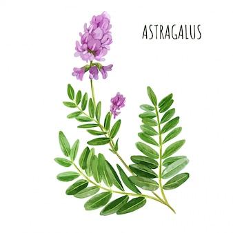 Astragale avec fleurs et feuilles, herbe à thé médicale