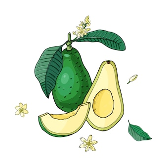 Avocat réaliste. nourriture tropicale d'été pour un mode de vie sain. bande dessinée fruit entier et demi, fleur