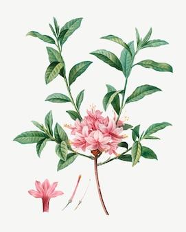 Azalée en fleurs