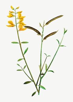 Balai espagnol en fleurs