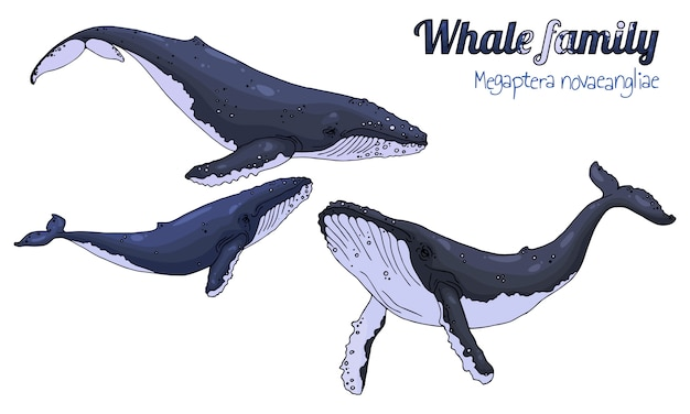 Baleines à bosse.