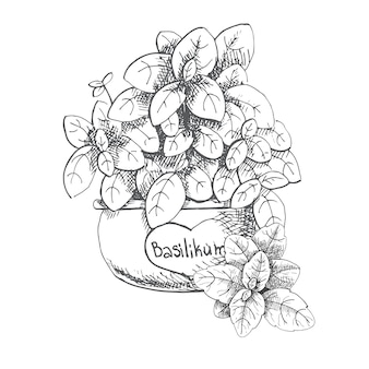 Basilic dans un pot