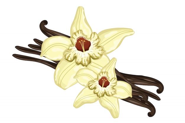 Bâtons de vanille avec une fleur sur blanc