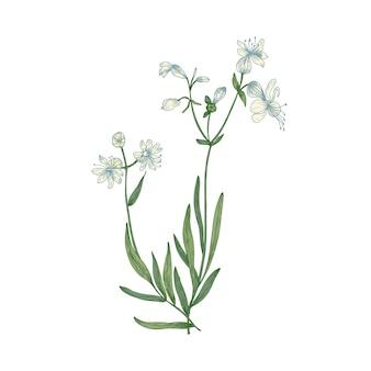 Beau dessin botanique de silene vulgaris ou de fleurs de campion de la vessie et de feuilles isolées sur blanc