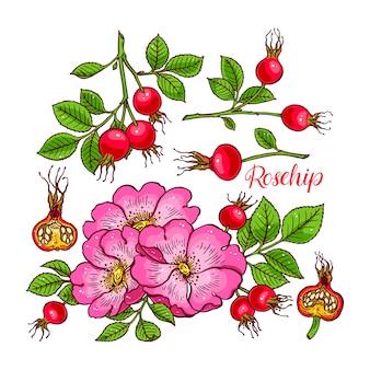 Bel ensemble de fleurs et de fruits d'églantier. illustration dessinée à la main