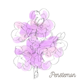 Belle illustration de penstemon sur fond blanc