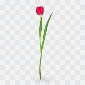 Belles tulipes sur fond transparent.