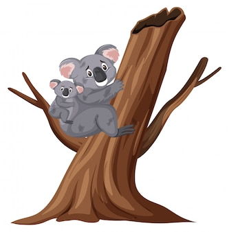 Blessé koalas escalade arbre sur blanc