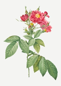 Borsault vintage rose