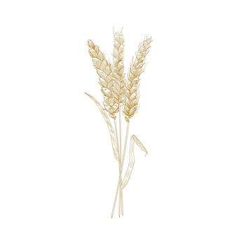 Bouquet d'épis de blé dessinés à la main avec des lignes de contour isolés sur blanc