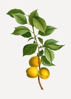 Branche d'abricot briançon