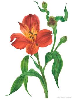 Branche d'alstroemeria rouge en fleurs