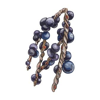 Branche de baies d'açai. illustration d'éclosion vintage de couleur vectorielle isolée sur fond blanc.