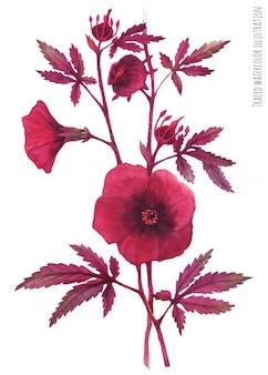 Branche de bordo hibiscus acetosella