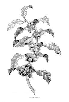 Branche de café dessin à la main vintage clip art isolé sur fond blanc
