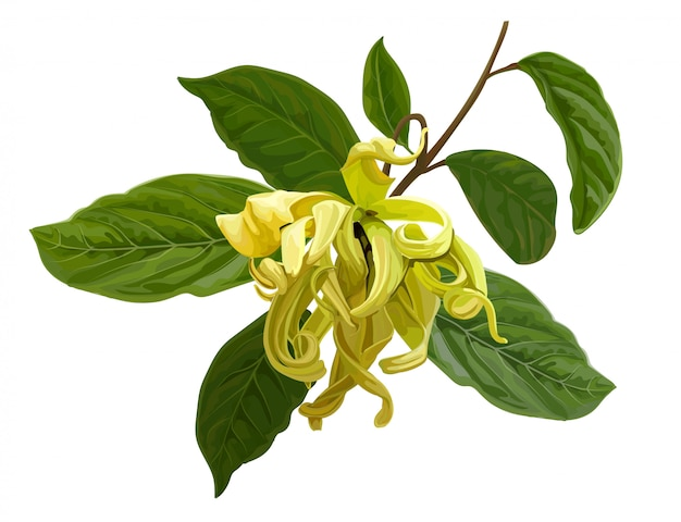 Branche de cananga ou ylang isolé sur blanc. illustration de plantes médicinales