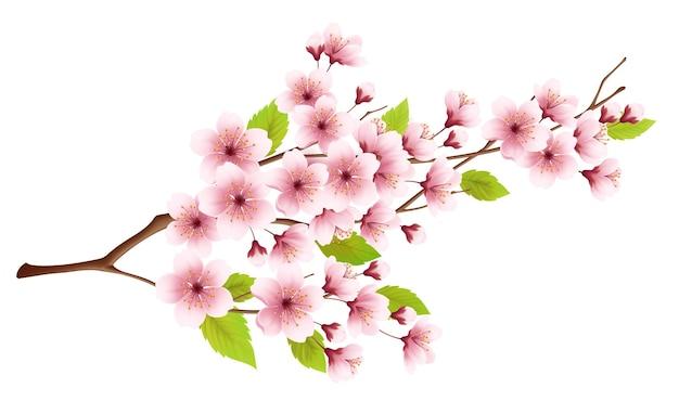Branche de cerisier en fleurs printanières sur blanc.