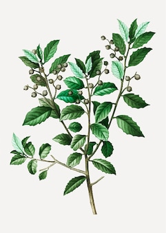 Branche de chêne à feuilles persistantes