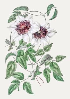 Branche de clématites vintage siebald pour la décoration