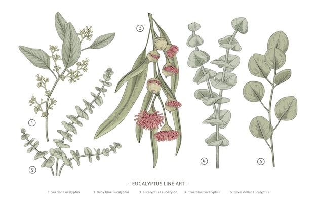 Branche d'eucalyptus dessiné à la main