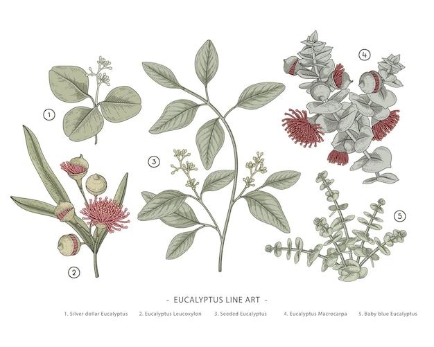 Branche d'eucalyptus illustrations botaniques dessinées à la main