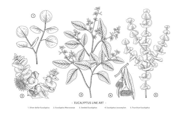Branche d'eucalyptus illustrations botaniques dessinés à la main.