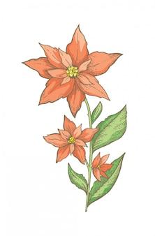Branche de fleur de noël poinsettia, croquis dessiné à la main.