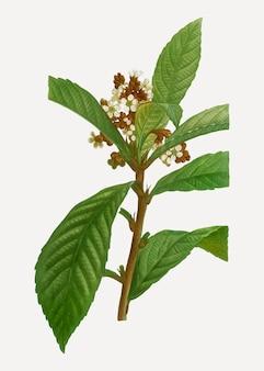 Branche florissante de loquat