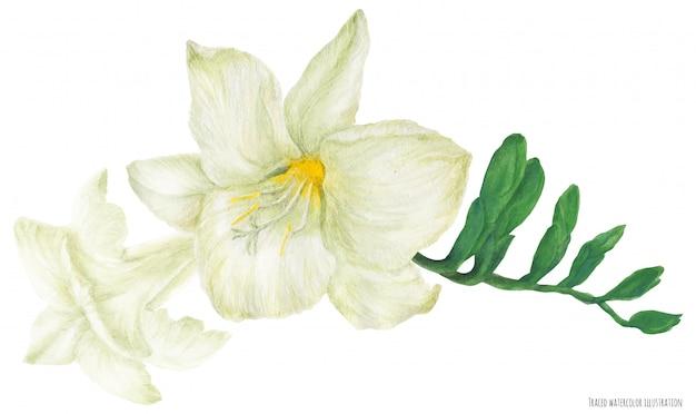 Branche de freesia blanc avec bourgeons