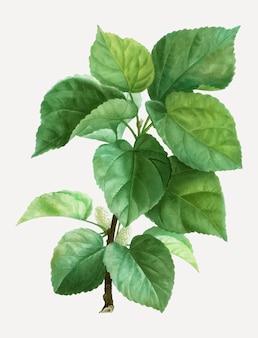 Branche de mûrier blanc