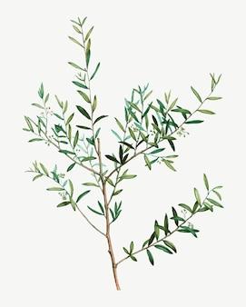 Branche de myrtle dahoon