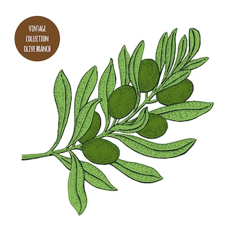 Branche d'olivier aux olives