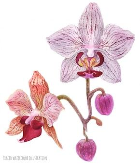 Branche d'orchidée papa phalaenopsis