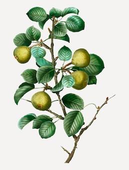 Branche de poirier
