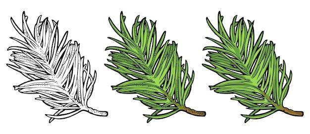 Branche de sapin. isolé sur fond blanc. illustration de gravure de couleur vintage de vecteur.