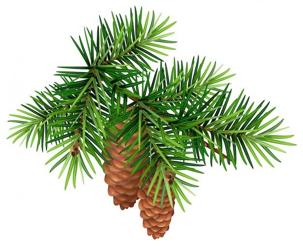 Branche de sapin vert et deux cônes