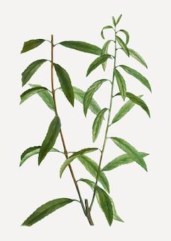 Branche de saule blanc