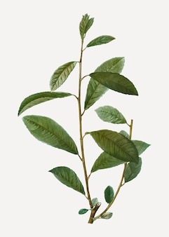 Branche de saule gris