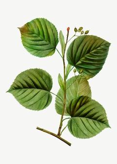 Branche de tilleul